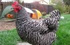 Незаразные болезни кур – Затрудненная яйцекладка