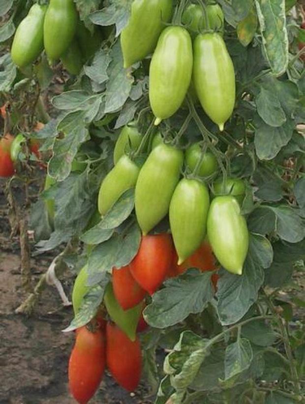 Сорт томата: Ниагара