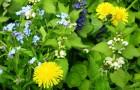 Обычные сорняки из вашего дворика у вас на тарелке