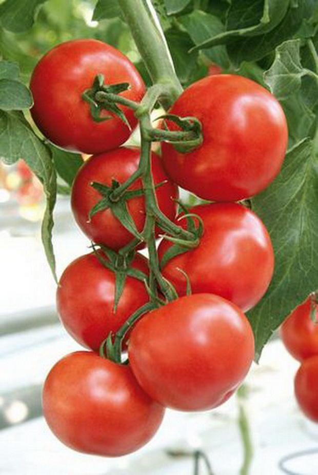 Сорт томата: Очаков   f1