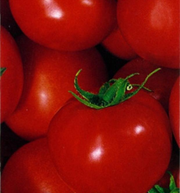 Сорт томата: Огонек