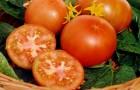 Сорт томата: Огородник