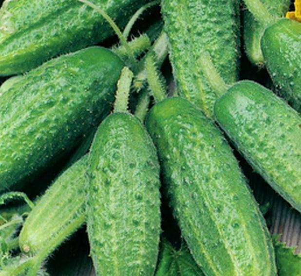 Сорт огурца: Огородник   f1
