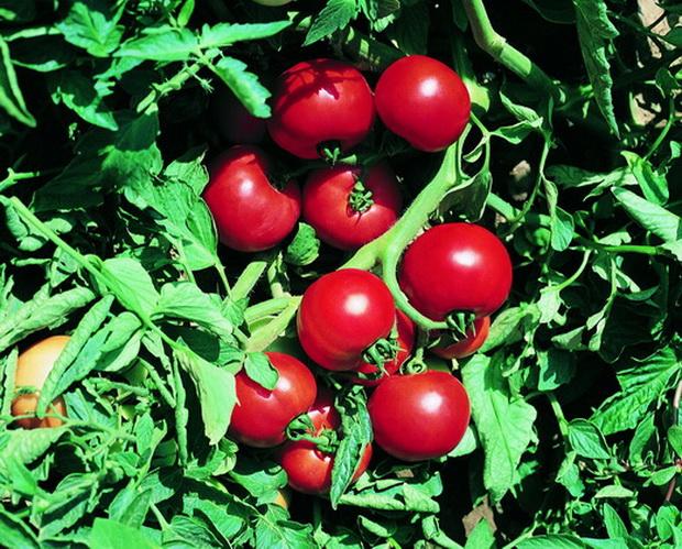 Сорт томата: Ольга   f1