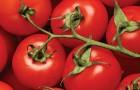Сорт томата: Опер f1