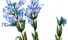 Орехокрыльник монгольский