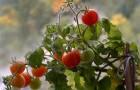 Сорт томата: Осенний багрянец