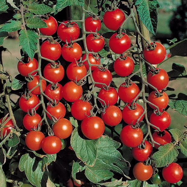 Сорт томата: Ожерелье красное
