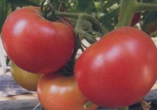 Сорт томата: Пандароза   f1