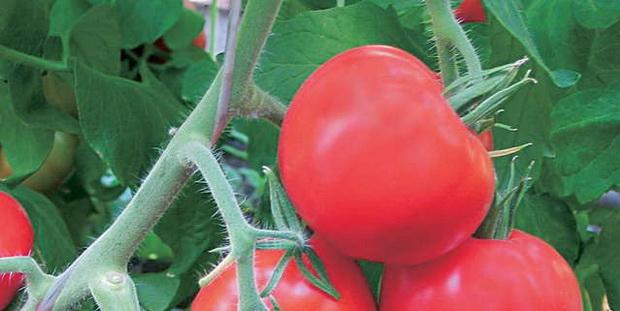 Сорт томата: Парадиз   f1