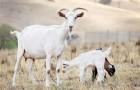 Паразитарные заболевания коз – Чесотка