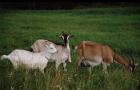 Паразитарные заболевания коз – Диктиакулез