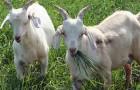 Паразитарные заболевания коз – Фасциолез