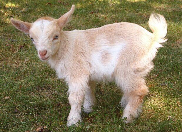 Паразитарные заболевания коз – Пироплазмоз