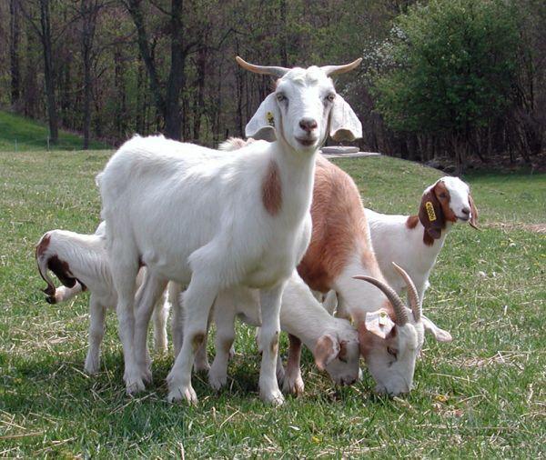 Паразитарные заболевания коз – Ценуроз