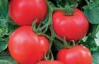 Сорт томата: Паронсет f1