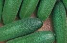 Сорт огурца: Патти f1