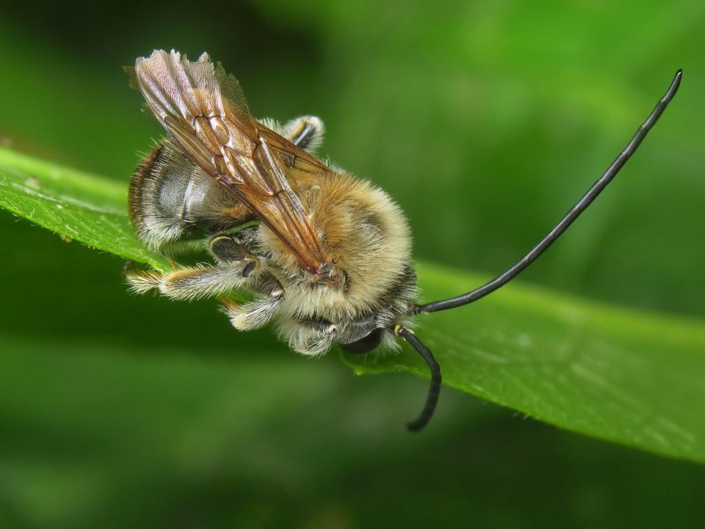 Пчела длинноусая