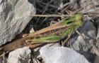 Перелетная саранча