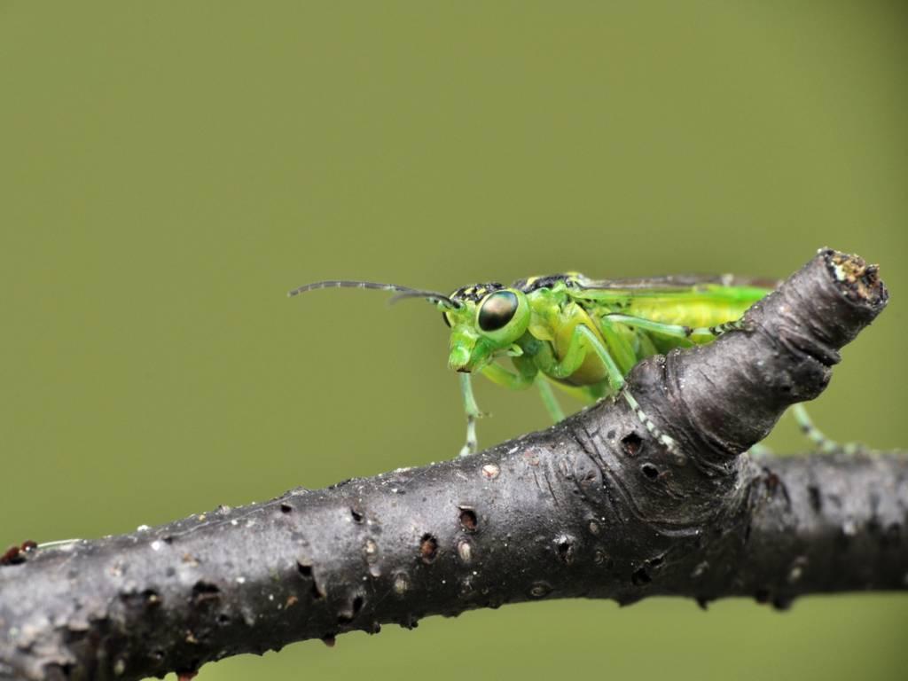 Пилильщик зелёный