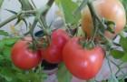 Сорт томата: Подарочный