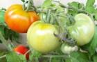Сорт томата: Подарок теще f1