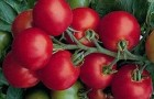 Сорт томата: Подмосковный f1
