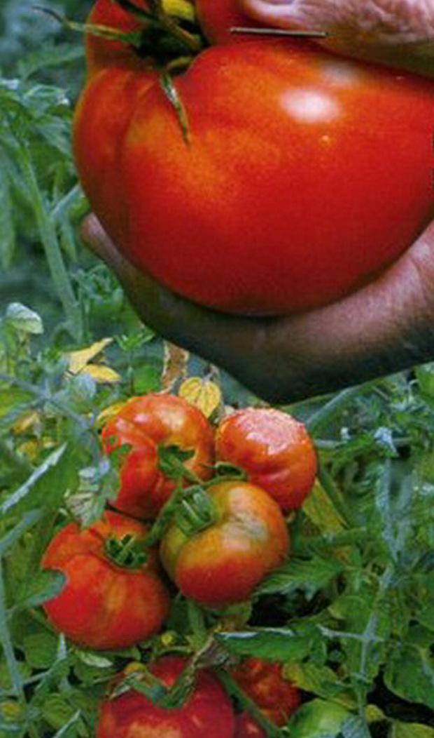 Сорт томата: Подснежник
