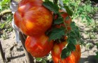 Сорт томата: Полосатик f1