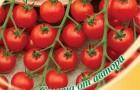 Сорт томата: Помисолька