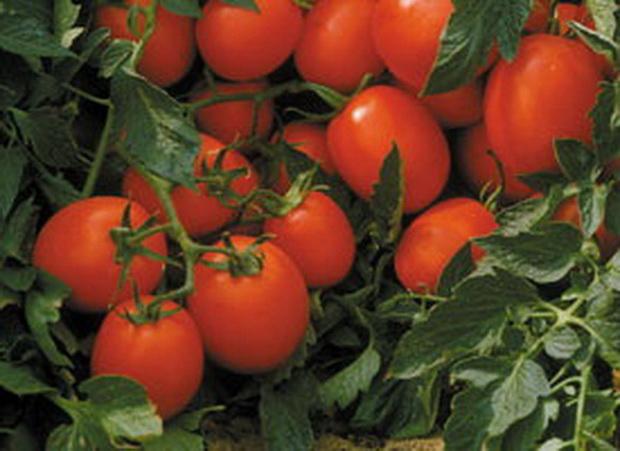 Сорт томата: Прекосикс   f1