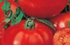 Сорт томата: Прекрасная леди f1