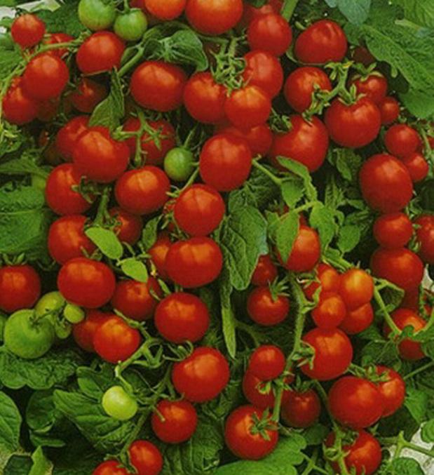 Сорт томата: Пуговка