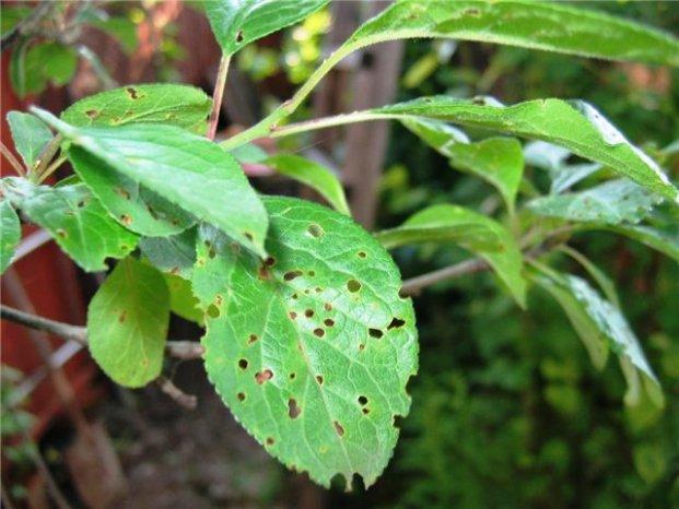 Пятна на листьях, ветвях и плодах