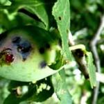 Пятнистость листьев косточковых