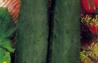 Сорт огурца: Регата f1