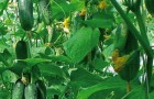 Сорт огурца: Рябинушка f1