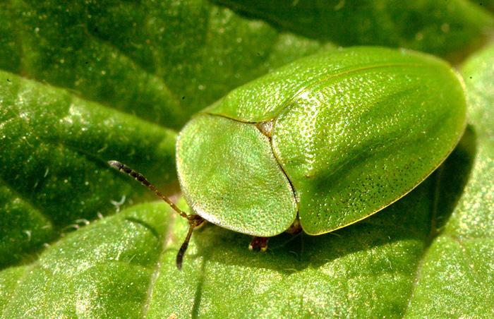 Щитоноска зеленая