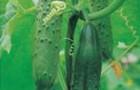 Сорт огурца: Сахалин f1