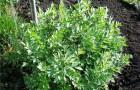 Сорняк — любисток (многолетний сельдерей)