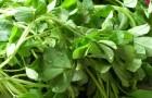 Сорняк — пажитник сенной