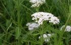 Сорняк — тысячелистник обыкновенный