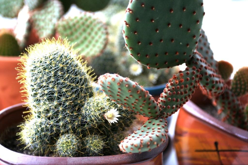 Способы размножения кактусов