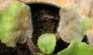 Стеблевая и корневая гниль (почвенные грибы)