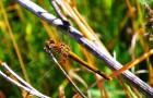 Стрекоза желтоватая