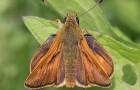 Толстоголовка лесная острокрылая