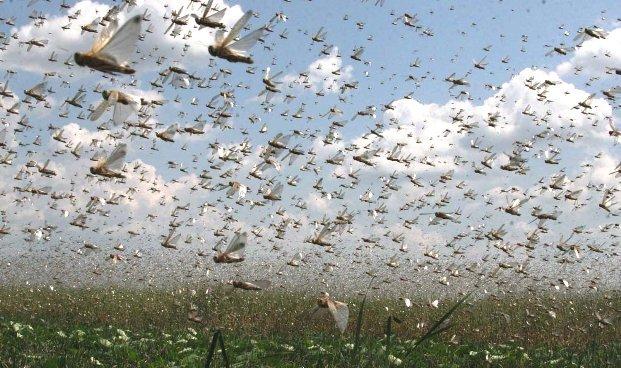 Уровень кислорода в воздухе - ключ к борьбе с саранчой