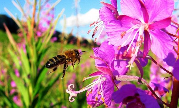 В Хорватии медоносных пчел учат искать мины