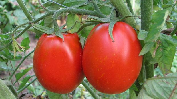 Сорт томата: Валентина