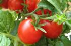 Сорт томата: Варвара